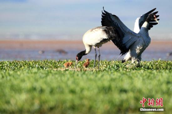 近日,在甘肃省甘南藏族自治州境内的尕海国际重要湿地,两只国家级一级保护动物黑颈鹤幼鸟破壳而出。尕海国际重要湿地隶属于甘肃尕海则岔国家级自然保护区管理局,湿地总面积约5万多公顷,是黑颈鹤重要繁殖地之一,在此繁殖的黑颈鹤约40多只。 张勇 摄