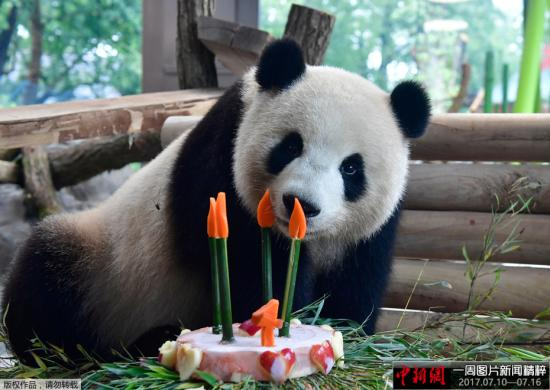 """当地时间2017年7月10日,德国柏林,来自中国的大熊猫""""梦梦""""庆祝四岁生日,享用美味蛋糕。"""