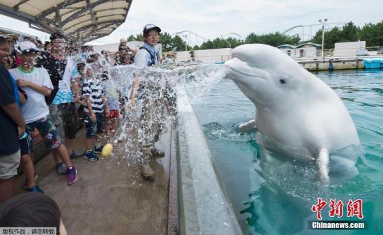 当地时间2017年7月16日,日本横滨,游客参观八景岛海洋乐园水族馆,一只白鲸向游客喷水送来清凉。