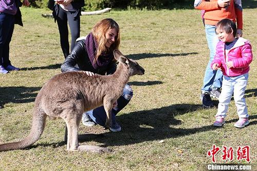 澳大利亚注重自然保护,人与动物和谐相处。图为7月16日,游人与野生袋鼠亲密接触。 中新社记者 陶社兰 摄