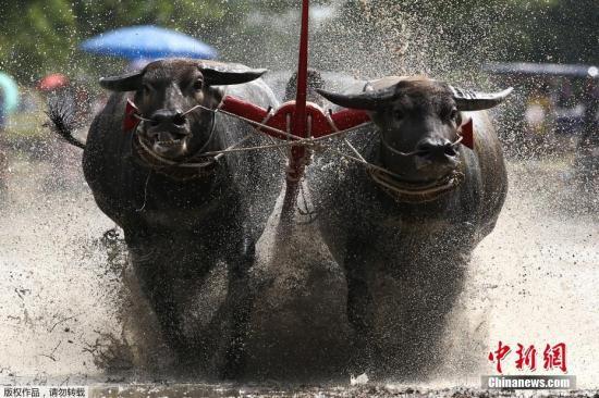 当地时间2017年7月16日,泰国春武里府,一年一度的水牛竞赛举行,参与者驾牛泥地狂奔。