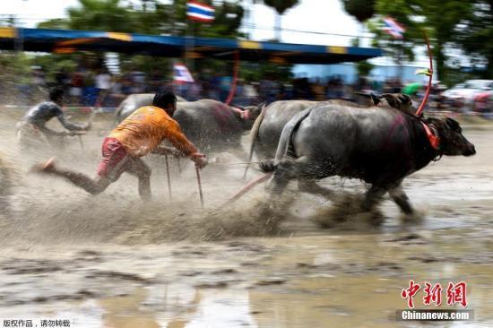 参赛者驾牛在泥地狂奔。