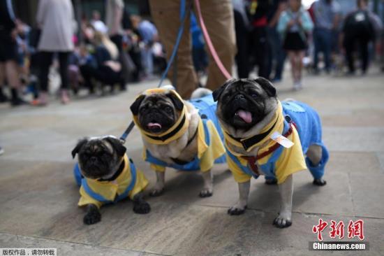 """各路八哥犬和混血八哥犬大聚会,参加""""八哥节""""。"""
