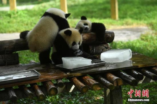 重庆动物园为大熊猫送冰块消暑,大熊猫正在吃冰块。 陈超 摄