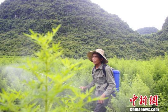农民在青蒿地里杀虫。 朱柳融 摄