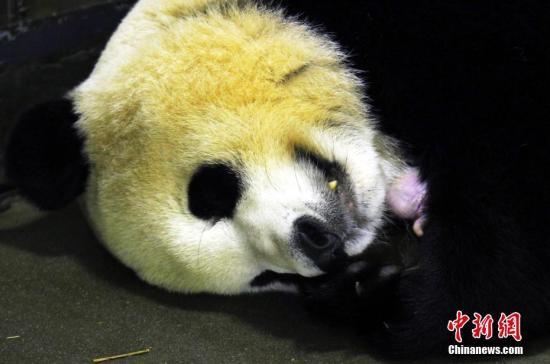 """大熊猫""""妮妮""""和新生宝宝在一起。钟欣 摄"""