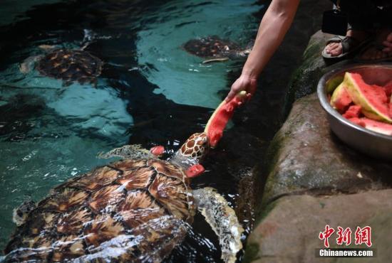 """7月25日,饲养员正在喂海龟吃西瓜。当日,安徽省合肥市出现持续高温天气,合肥海洋世界的饲养员为海洋动物们准备西瓜、果冻、冰块等""""高温福利"""",帮助海洋动物们清凉度夏。 记者 韩苏原 摄"""