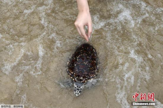 当地时间2017年7月26日,泰国春武里府梭桃邑,泰国皇家海军海龟保护中心举办一年一度的海龟放生活动,释放1000多只绿海龟和玳瑁海龟。该活动作为庆祝国王玛哈·哇集拉隆功即将到来的65岁生日的一部分。