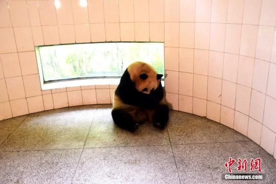 """資料圖:大熊貓""""草草""""室內帶仔。李傳友 攝"""