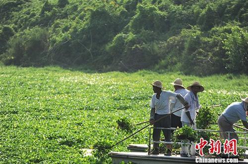 资料图:8月7日,安徽合肥一生态打捞船在打捞水葫芦。 中新社记者 张娅子 摄