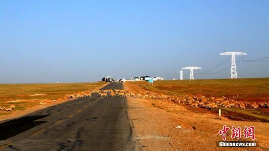 8月9日早8时许,可可西里管理局工作人员堵住青藏公路来往的车辆,保护约有300余只藏羚羊藏羚羊顺利通过青藏公路,开启它们的回迁之路。 孙睿 摄