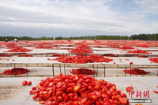 资料图:番茄。袁晶 摄