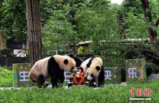 """资料图:网红双胞胎大熊猫""""冰冰""""、""""青青""""在中国大熊猫保护研究中心都江堰基地迎来两岁生日。 安源 摄"""