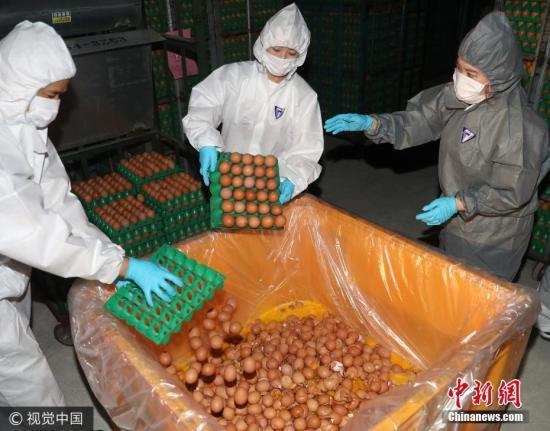 """当地时间2017年8月17日,韩国蔚山市蔚州郡一养殖场,工作人员销毁被检出含有杀虫剂芬普尼(Fipronil)成分的鸡蛋。14日,韩国本土产鸡蛋首次被检出含有杀虫剂氟虫腈成分。短短3天时间内,""""毒鸡蛋""""影响范围在韩不断扩大。 图片来源:视觉中国"""