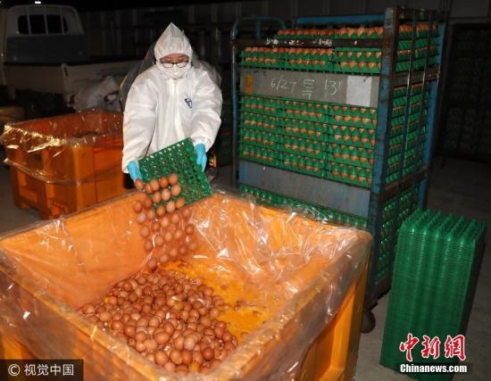 资料图:当地时间2017年8月17日,韩国蔚山市蔚州郡一养殖场,工作人员销毁被检出含有杀虫剂芬普尼(Fipronil)成分的鸡蛋。