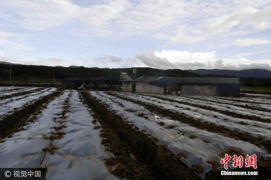 经过20多天艰苦、紧张的耕作,300多亩土地被他们全部种下竽头。他们住房建在竽头地中间,其实就是简易工棚,用一些竹木撑起,上边放上黑色遮阳网,四围用塑料薄膜包住,风一吹哗哗作响。简易棚左边是工人生活区,右边成了堆放化肥等杂物间。 照真达俗 摄 图片来源:视觉中国