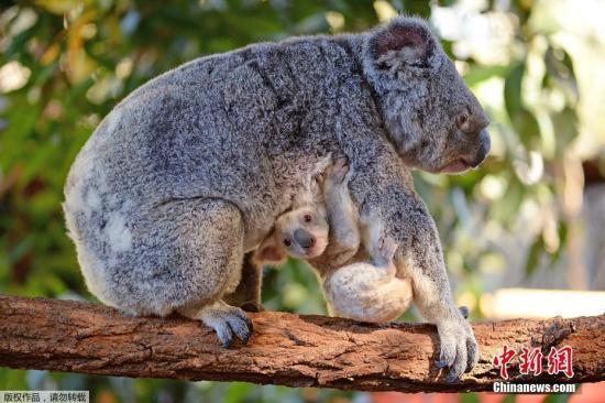 这只考拉独特的白色毛皮并非是得了白化病,而是继承了来自于母亲提亚的隐性基因。提亚则与多数考拉一样是灰色皮毛,此前它也曾生出过其他白色小考拉。
