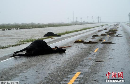 高速公路上躺着在飓风中丧生的牛。