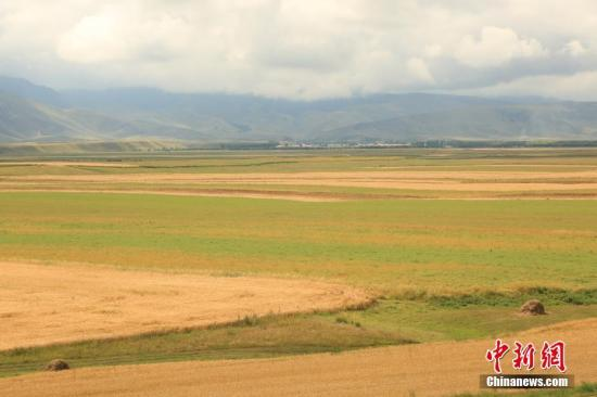 新疆昭苏高原上约百万亩春小麦。 李文武 摄