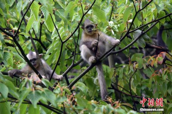 资料图:云南省迪庆藏族自治州维西县香格里拉滇金丝猴国家公园。 中新社记者 李进红 摄