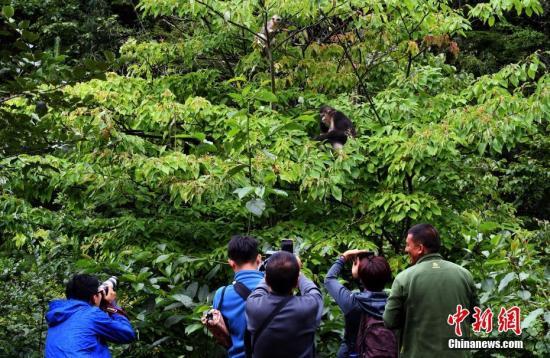图为香格里拉滇金丝猴国家公园。 中新社记者 李进红 摄