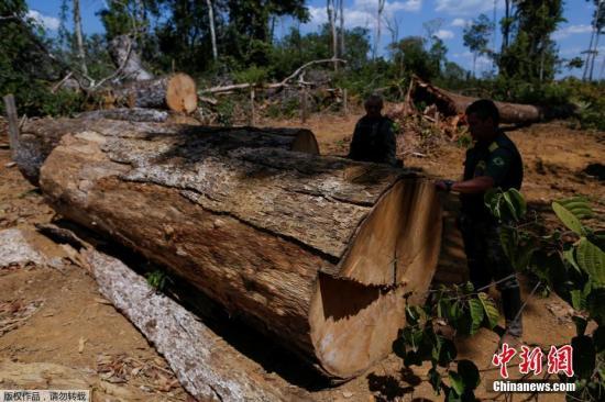 """巴西亚马孙州Apui,巴西环境与可再生资源署特工在当地展开""""绿浪行动"""",检查一段被伐倒的树木。"""