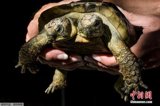 """当地时间2017年9月3日,瑞士日内瓦,以古罗马两面神""""杰纳斯""""命名的双头乌龟当日迎来了它的20岁生日。"""