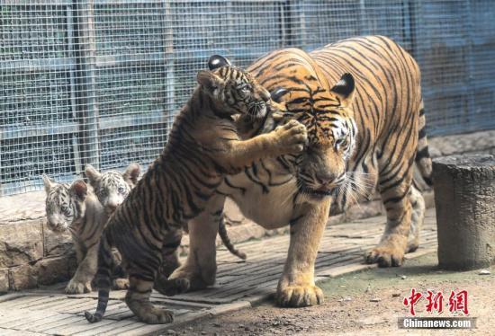 全球气候变暖加剧 孟加拉虎或从最后栖息地之一消失