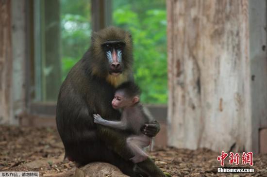 资料图片:一只幼小的狒狒坐在妈妈的怀抱里。