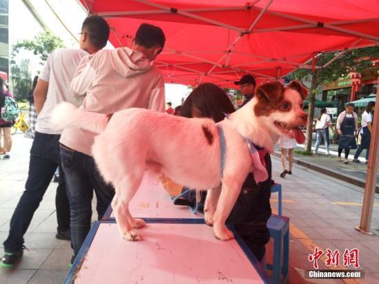 宠物狗。 <a target='_blank' href='http://www.chinanews.com/'>中新社</a>记者 刘冉阳 摄