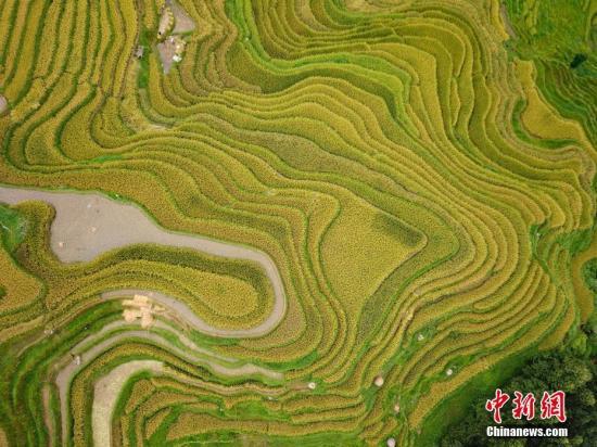 图为贵州省榕江县岩寨金色的梯田风光。记者 贺俊怡 摄