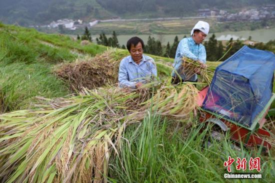资料图:贵州榕江县八吉侗寨民众在脱粒。9月,贵州各地进入秋收的繁忙季节,田间地头一片忙碌的景象。中新社记者 贺俊怡 摄