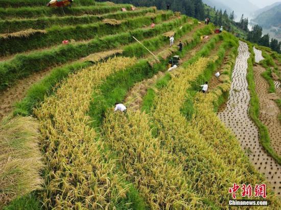 资料图:榕江县八吉侗寨民众在带状的梯田里收割水稻。中新社记者 贺俊怡 摄