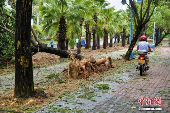 """强台风""""杜苏芮""""擦过海南,三亚海棠湾街头齐腰粗的大树被大风连根拔起,躺在路中间。骆云飞 摄"""