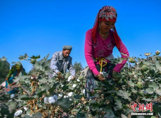 9月20日,新疆喀什地区麦盖提县棉农正在棉田中采摘棉花。夏末秋初,新疆南部喀什、和田、阿克苏等地棉花已陆续成熟,进入采摘期。新疆是中国优质棉花主产区,由于土壤肥沃、日照充足、昼夜温差大、雨水少等因素,新疆的棉花种植在其南部更为集中。 中新社记者 刘新 摄