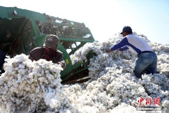 9月20日,棉工将刚采的棉花转移到运输车上。9月下旬,新疆兵团各棉花主产区已进入新棉采摘期,目前该地采棉基本已达机械化,机械采棉相比传统的人工采棉方式,极大地节约了劳动力,实现农民增收。 <a target='_blank' href='http://www.chinanews.com/'>中新社</a>记者 李国庆 摄