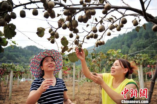 Fungi causing kiwifruit diseases identified by Chinese scientists