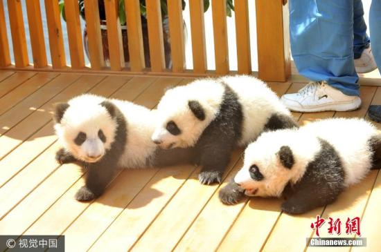 Qinling giant panda population rises to 345 on conservation efforts