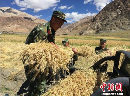 资料图:西藏阿里边防官兵帮助农牧民收割青稞。 唐超 摄