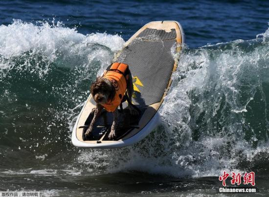 当地时间9月23日,美国加州亨廷顿海滩举办的狗狗冲浪大赛,大约有3000人参加此次比赛,参赛选手中包括来自美国、巴西和加拿大的宠物犬。