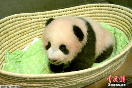 """资料图:日本东京上野动物园出生的熊猫宝宝""""香香""""。"""
