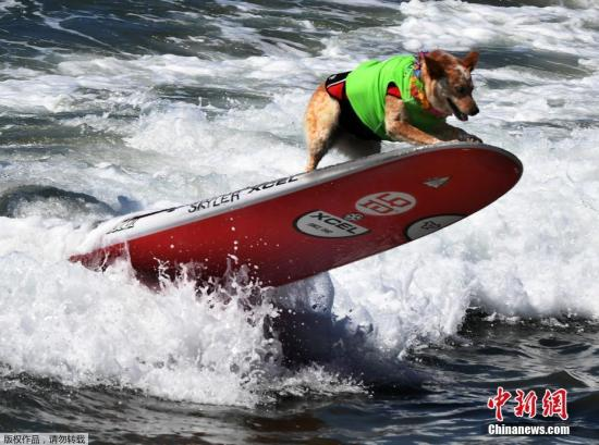 """图为参赛的""""冲浪狗""""。"""