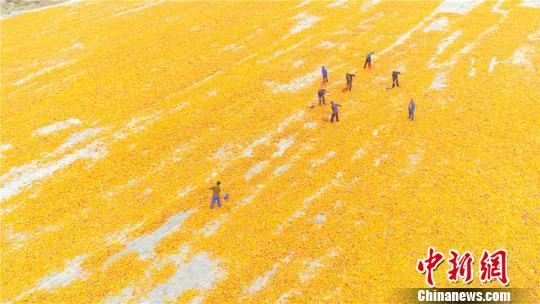 资料图:甘肃省张掖100万亩制种玉米进入收获晾晒加工期,晾晒在田间的金黄色玉米构成一幅美丽的画卷。 王将 摄