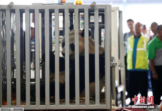"""当地时间2017年9月28日,印度尼西亚唐格朗,来自中国成都的大熊猫""""彩陶""""和""""湖春""""乘坐专机抵达当地机场。据悉,雄性熊猫""""彩陶""""与雌性熊猫""""湖春""""今年均为7岁,将落户印尼野生动物园,将在隔离观察一段时间后对印尼公众开放。中印尼两国将正式开始为期10年的大熊猫?;ず献餮芯?。"""