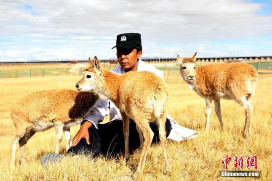 9月27日,可可西里的索南达杰自然保护站,七只藏羚羊受到管护人员的精心呵护。图为藏羚羊依偎在管护人员达才身边。 中新社记者 张添福 摄