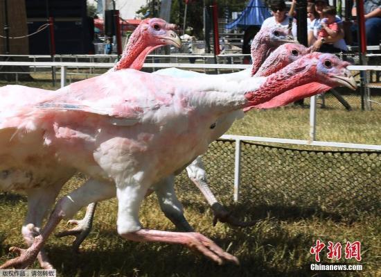 资料图:火鸡。