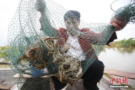 10月2日,螃蟹养殖户张成山捕捞洪泽湖大闸蟹。中新社记者 泱波 摄