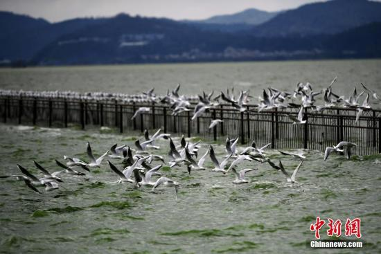 10月9日,昆明滇池边的海埂公园出现300余只海鸥,这标志着从西伯利亚来昆明越冬的红嘴鸥先头部队已抵滇,开启了昆明的观鸥季。据了解,每年冬季约有4万只红嘴鸥从西伯利亚来昆明滇池流域越冬。中新社记者 李进红 摄