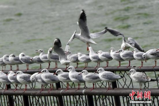 资料图:海鸥。<a target='_blank' href='http://www.chinanews.com/'>中新社</a>记者 李进红 摄