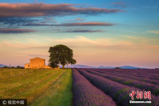 法国普罗旺斯阿尔卑斯省瓦朗索尔市,农夫有条不紊地在无边无垠的紫色花田里收割着薰衣草。法国薰衣草之乡到了收割的季节,束束深紫色饱满的花穗形成一片片紫色的浪漫海洋,隔着屏都能嗅到那股馥郁芳香。图片来源:视觉中国